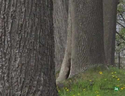 Bielsko-Biała: Drzewa pod specjalnym nadzorem